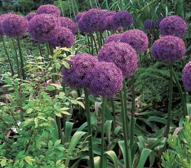 allium-bulbs