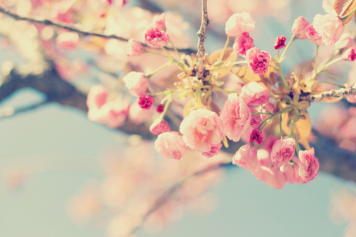 Spring Pastel Cherry Tree, Getty Images