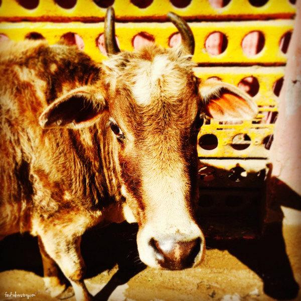 rishikesh cow